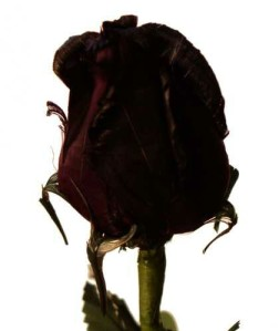 BLACK ROSE BUD