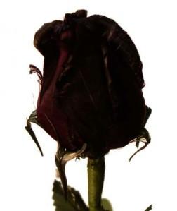 BLACK ROSE BUD